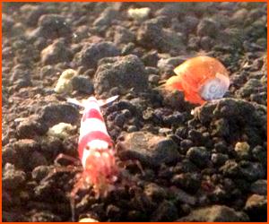貝やエビで水槽掃除してもらおう