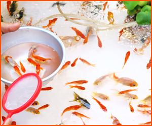 お祭り・縁日の金魚飼育が失敗しやすい理由